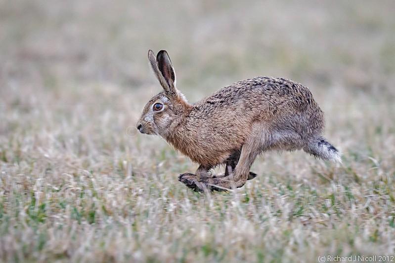 Brown Hare (Lepus europaeus) running - Brown Hare (Lepus europaeus)