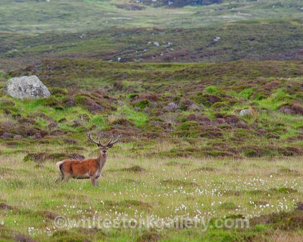 Wild Stag - Scottish Highlands