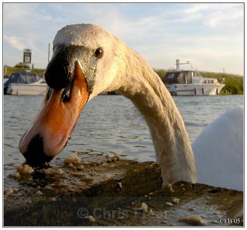 Charlie Swan - Animals/ Wildlife