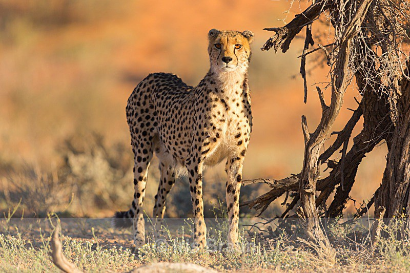 Attentive - Cheetah