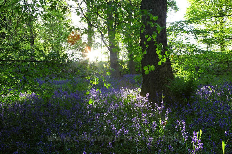 Evening sun shining through houghall woods, Durham.   ref 5234 - County Durham