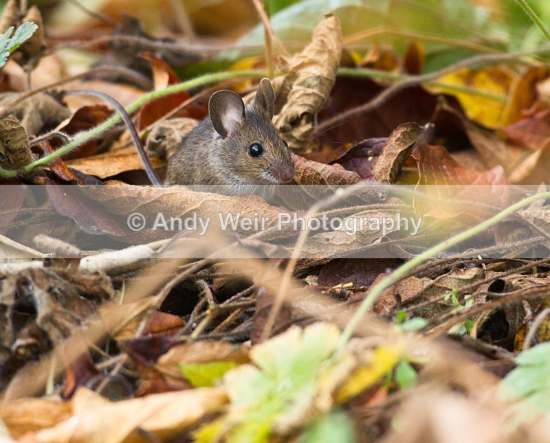 20101113_3207 - Wood Mouse
