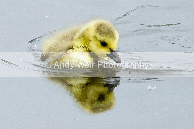 20120520-_MG_0008 - Geese