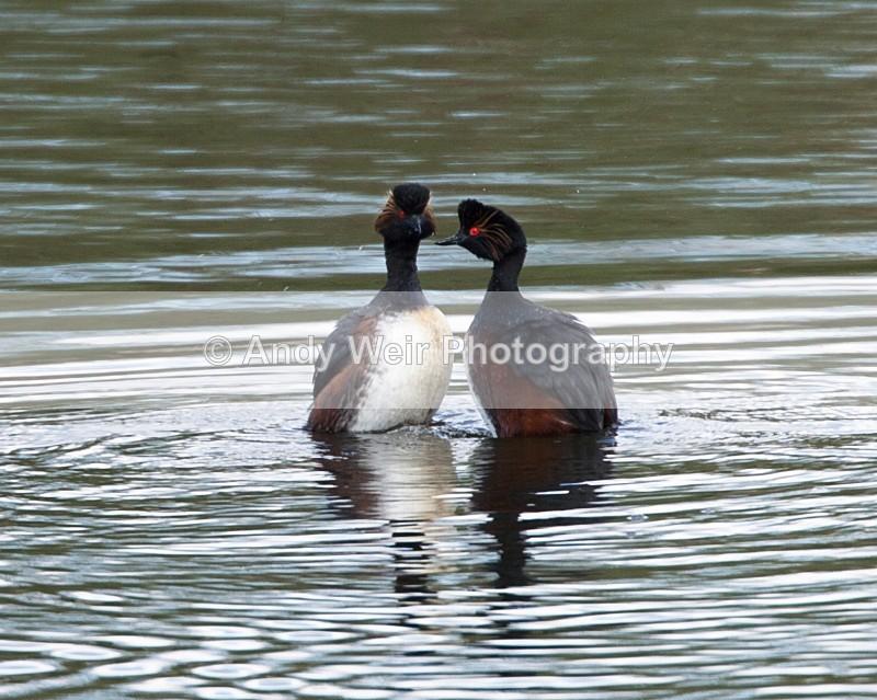 Black Necked Grebe Photograph