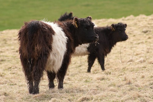 12 - Belted Galloway Cattle