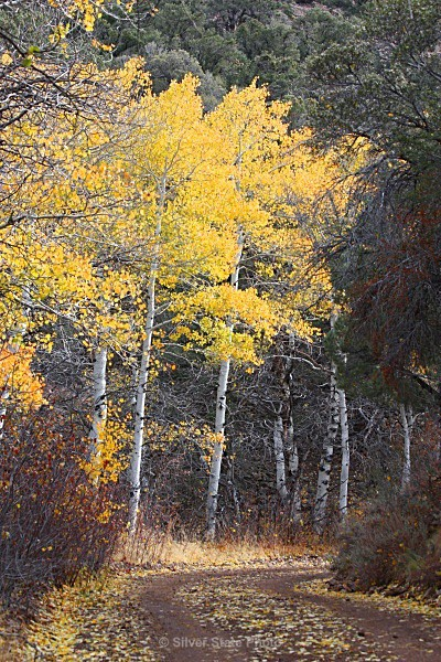 Monitor Aspens - Nevada (mostly) Landscapes