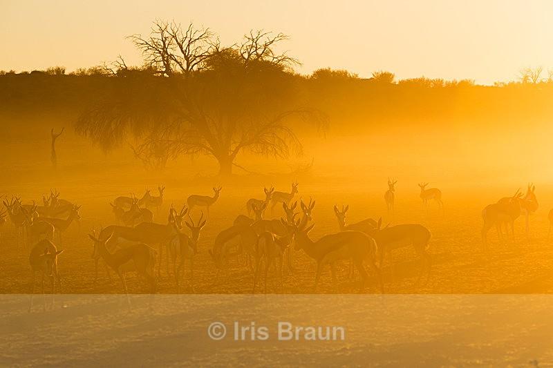 Morning Mood - Antelope