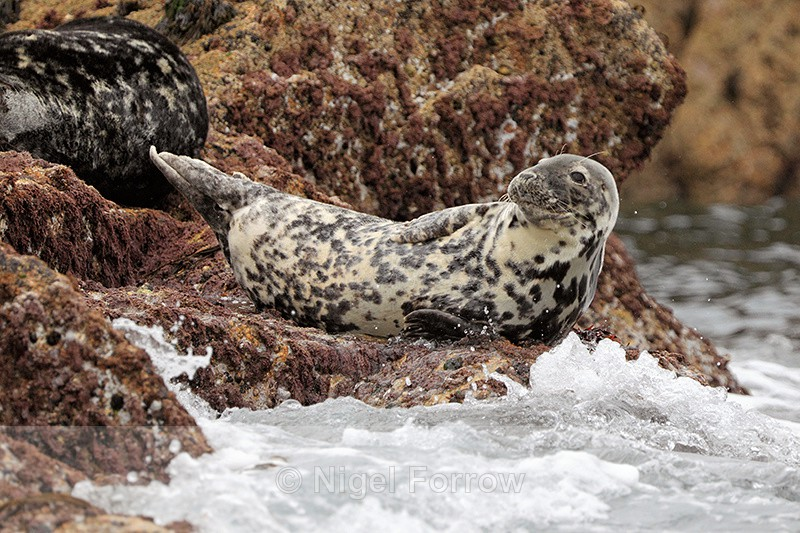 Grey Seal (female) basking on rocks, Isles of Scilly - Seal
