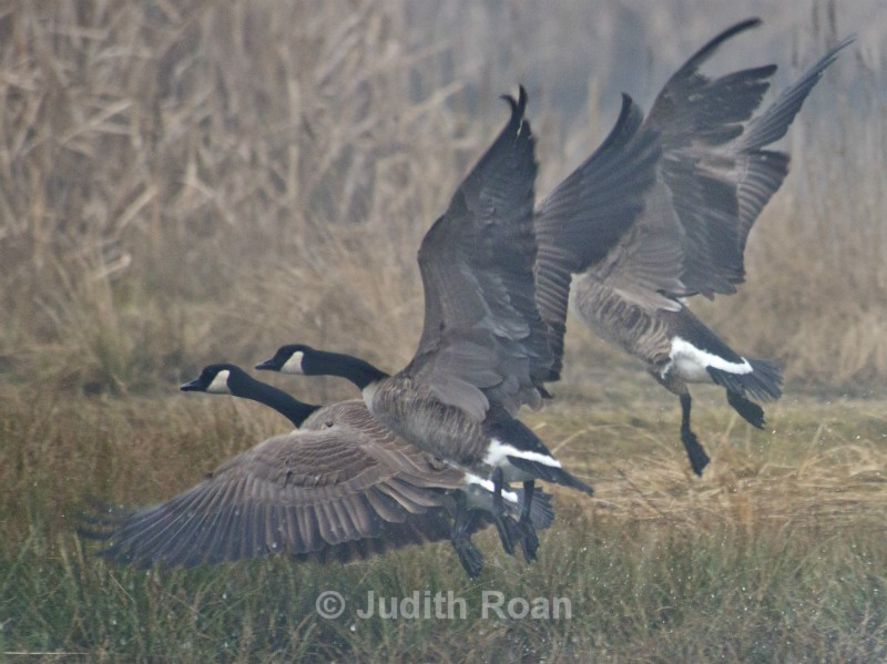 Canada Geese in flight - Reifel Refuge