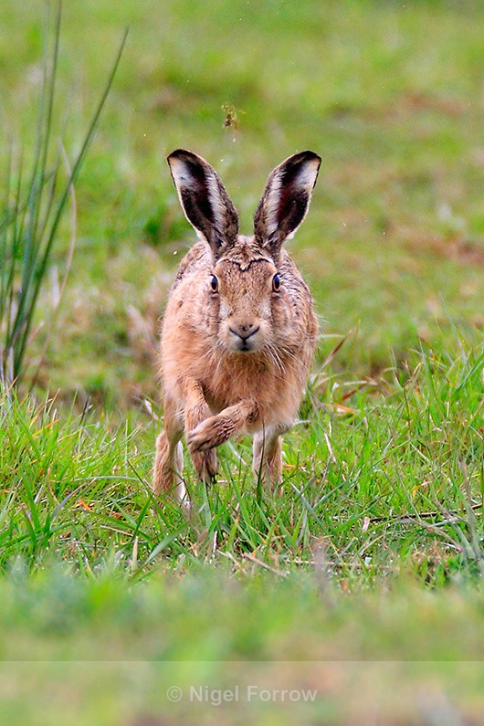 Brown Hare running straight towards the camera - Hare