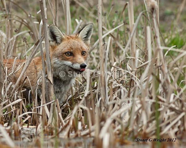 603 - Fox
