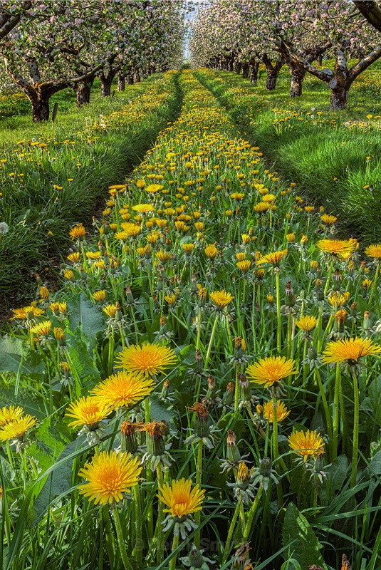 Dandilions In Apple Orchard