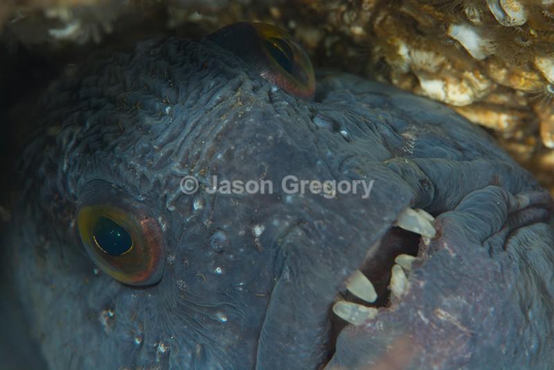Anarhicus lupus - Fishes – bony and cartilagous (Pisces)