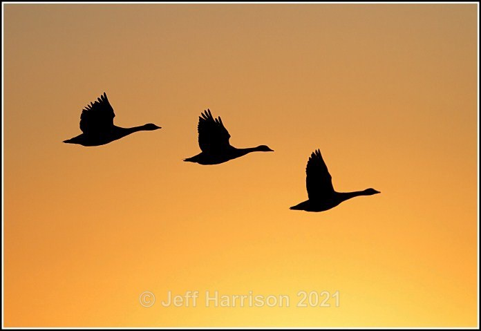 Canada Geese - in flight at sunrise (image Can G 03) - Latest additions