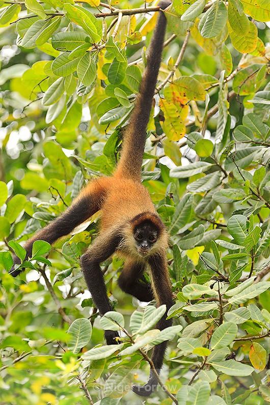 Spider Monkey in a tree above Turtle Beach Lodge, Tortuguero - Monkey