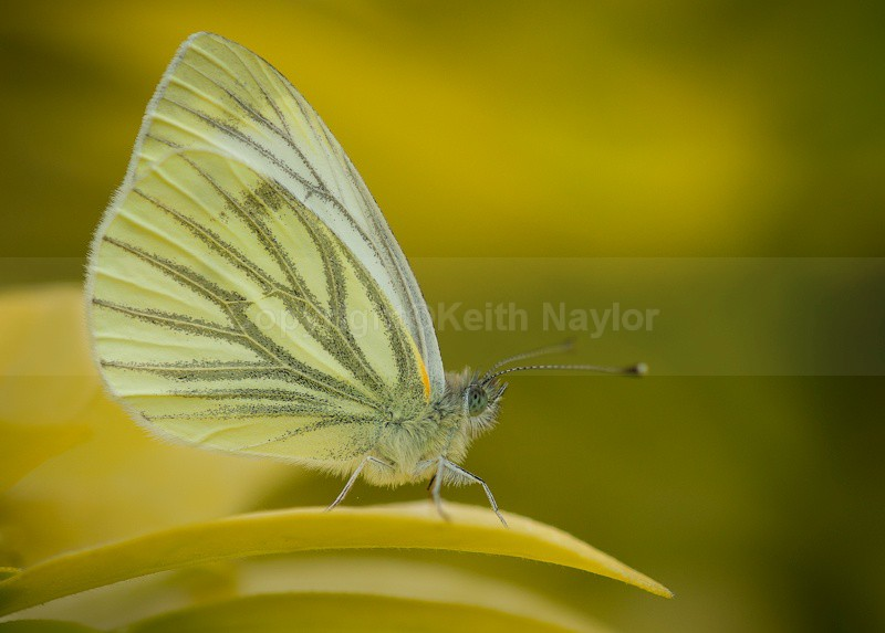 Green-veined White - 2010