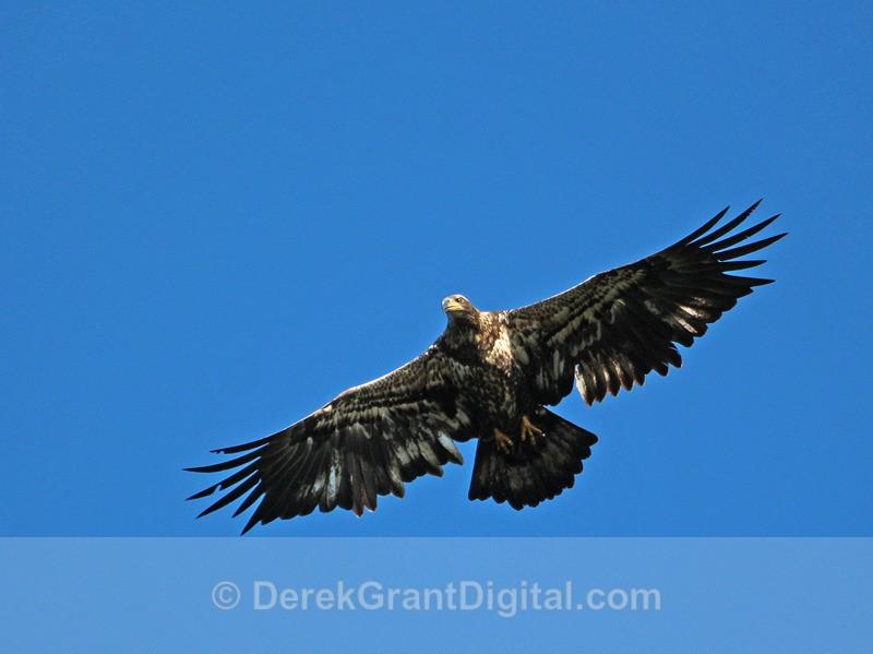 Juvenile Bald Eagle in Flight - 2 - Birds of Atlantic Canada