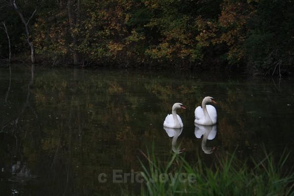 Swans - SW Minnesota