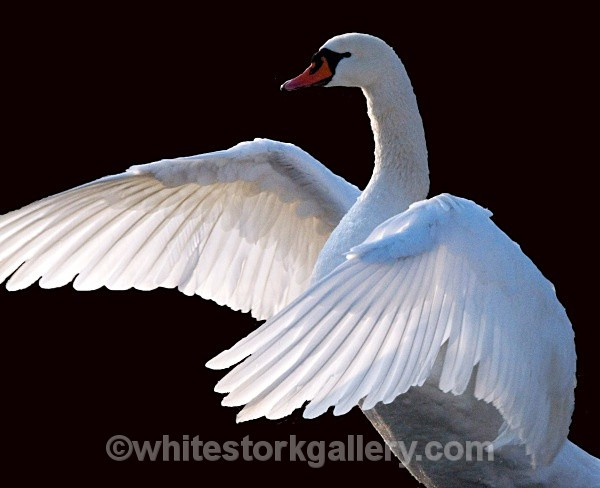 Swan - Wildlife and Animals