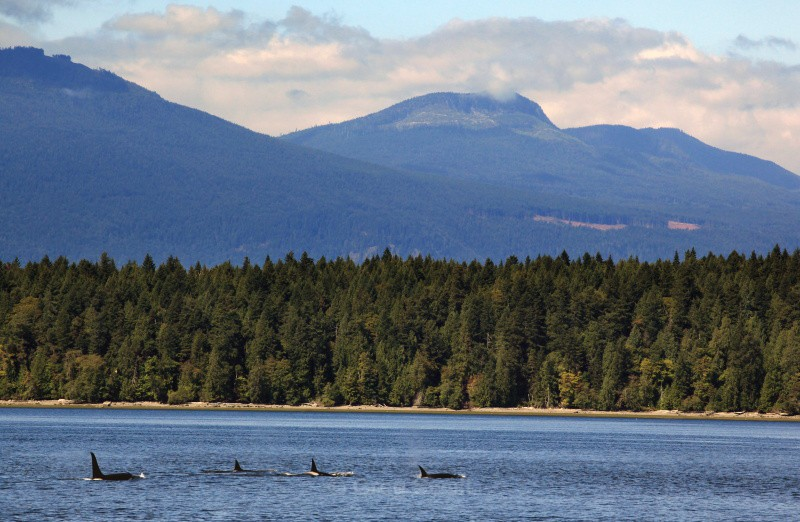 A Pod of Killer Whales - BC and the Rockies,Canada