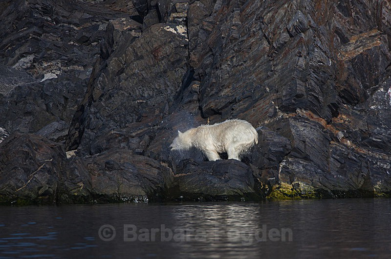 Polar bear  7750 - Trip with MS Expedition August 2016