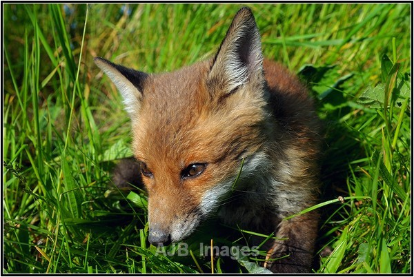 Fox Cub - Wildlife