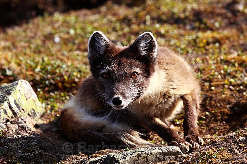 Arctic Fox 3241 - Wildlife