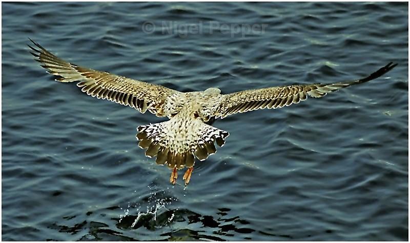 Lift-off - Gulls