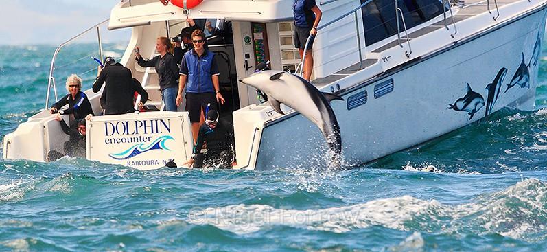 Dolphin Encounter boat trip off Kaikoura - New Zealand