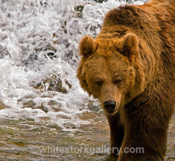 Brown Bear - Wildlife and Animals