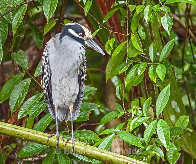 Yellow Crowned Night Heron, Costa Rica - Costa Rican Wildlife