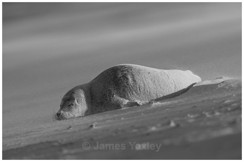 Exhausted Seal Pup in Sandstorm - Nature in Black & White