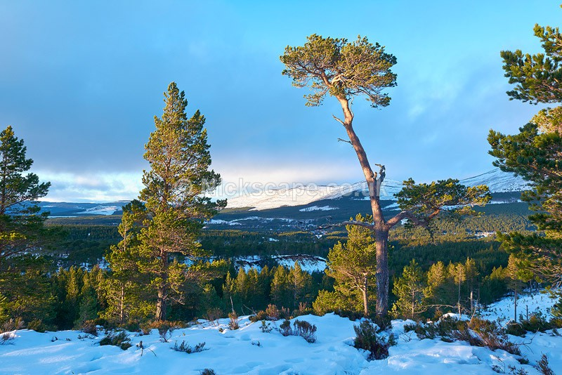 Photo of the Pine Forests above Aviemore in the Cairngorms National Park