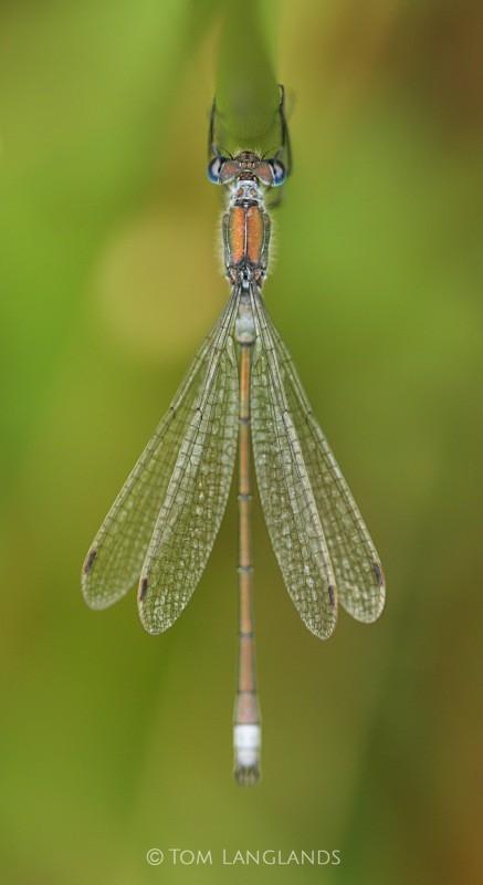 Emerald Damselfy - Macro