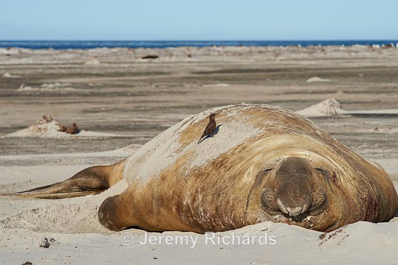 Bird on Elephant Seal - Sea Lion Island