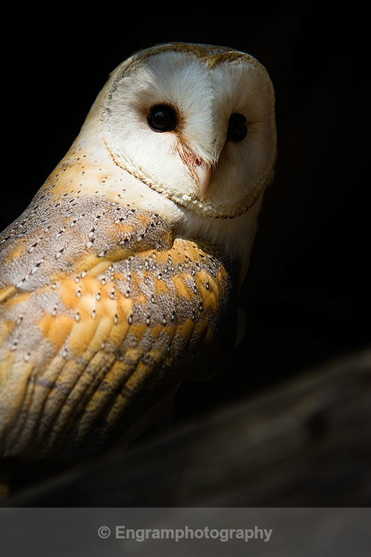 Barn Owl in shadow-5589 - RSCH Gallery displayed images