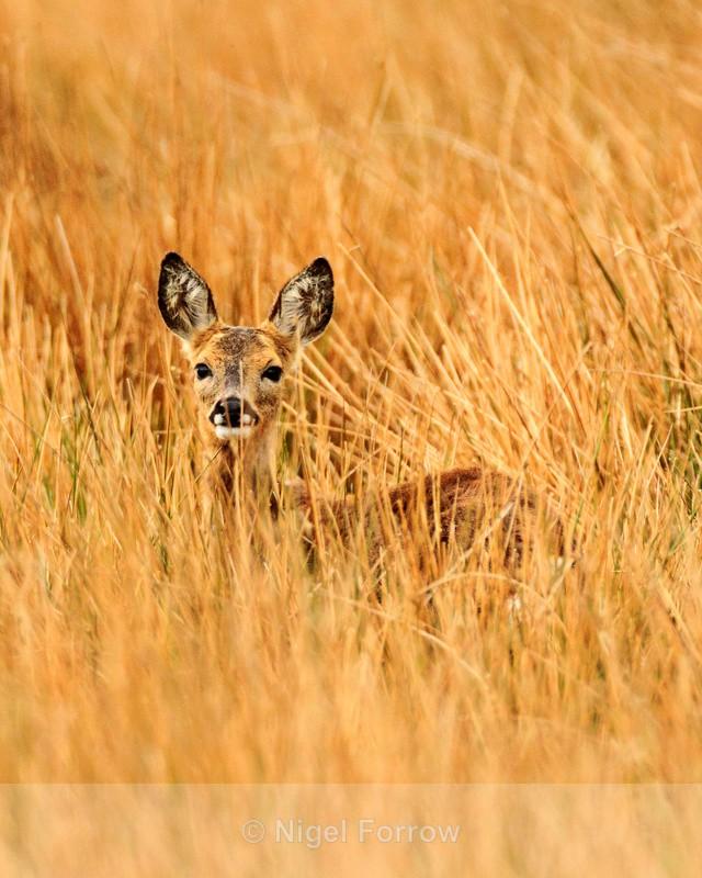 Young Roe Deer standing in long grass on Islay - Deer