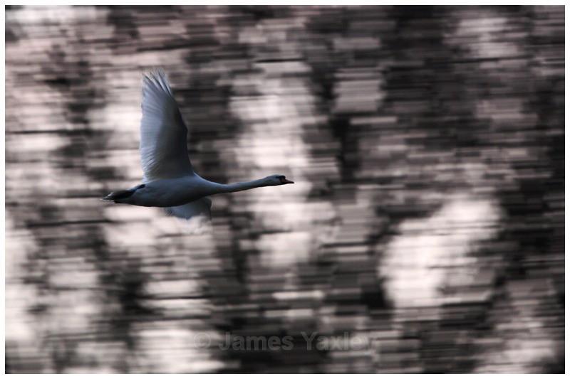 Mute Swan Motion Blur - Creative