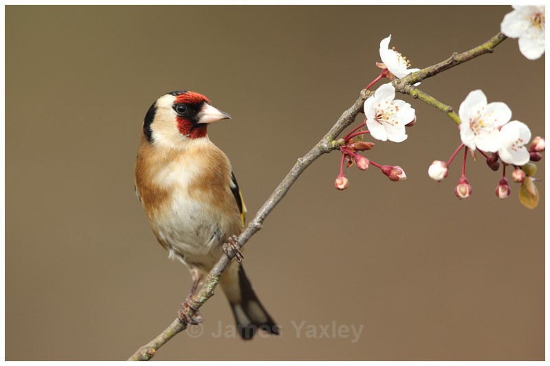 Gold Finch perched on Spring Blossom - British Birds