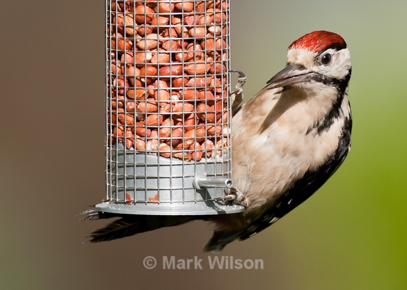 Great Spotted Woodpecker (juvenile male) - On the feeders