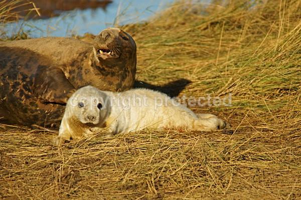 Grey Seal Pup  & Mum (Donna Nook) - 1901 - Donna Nook