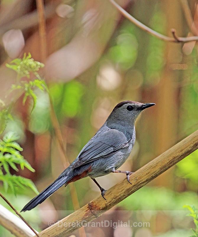 Gray Catbird - Birds of Atlantic Canada