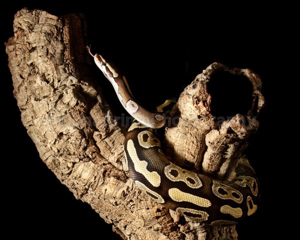 snakes-218 - Reptile Photography