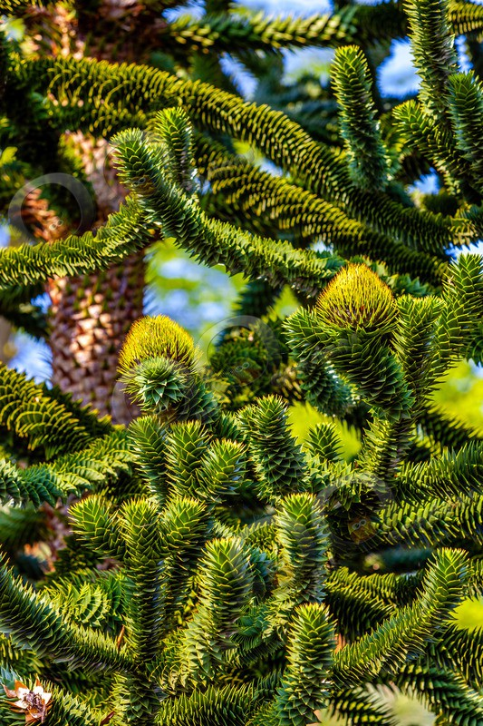 Monkey Puzzle tree-8023 - Plants and trees