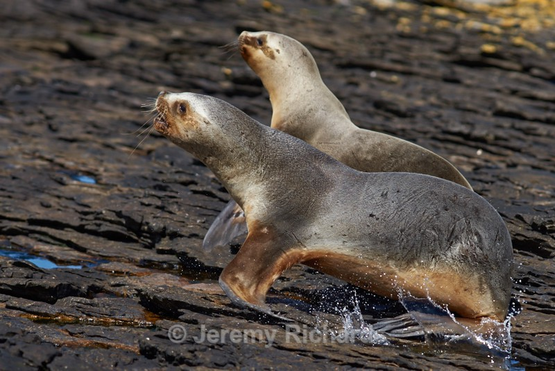 Southern Sea Lions - Carcass Island