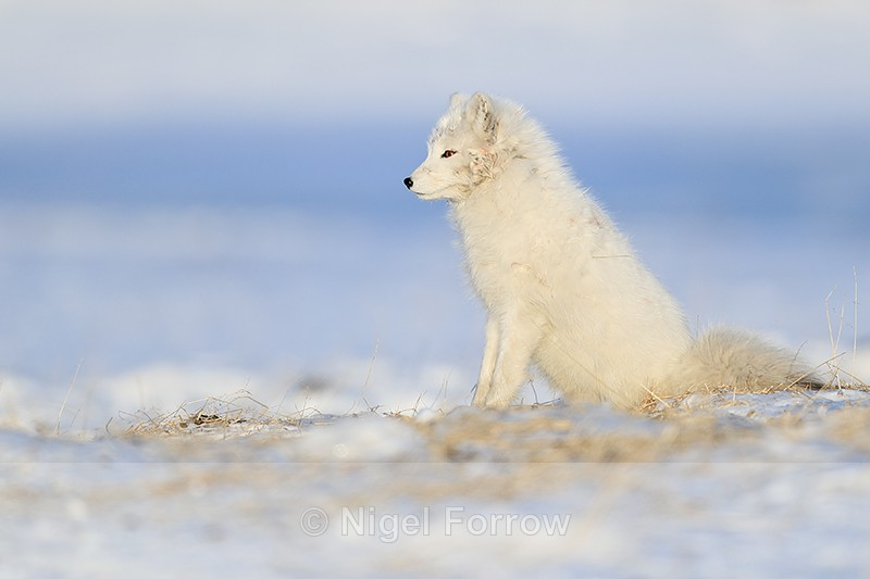Arctic Fox sitting, side view, Svalbard, Norway - Arctic Fox