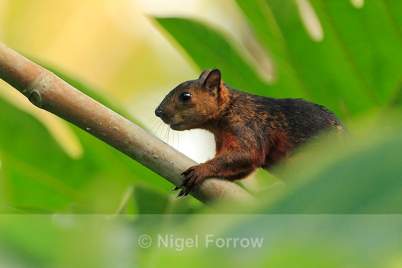 Variegated Squirrel at Leaves & Lizards - Squirrel