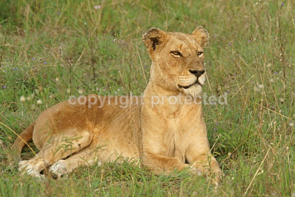 African Lioness (Timbavati, South Africa) - African Lions