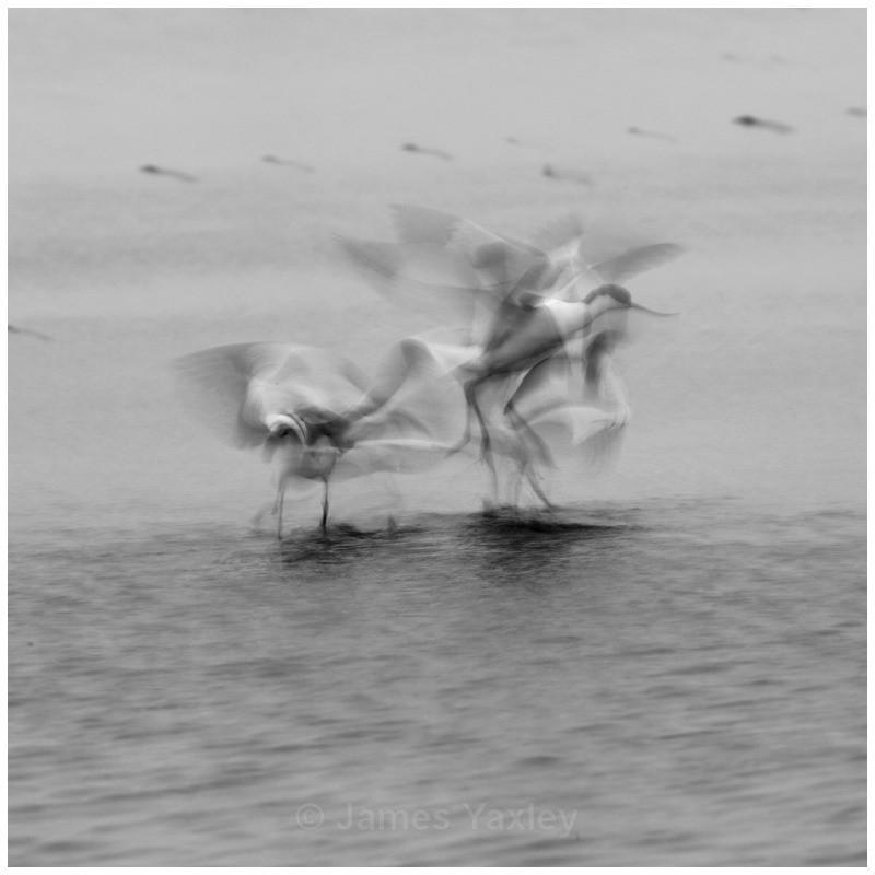 Avocet Attack - Nature in Black & White