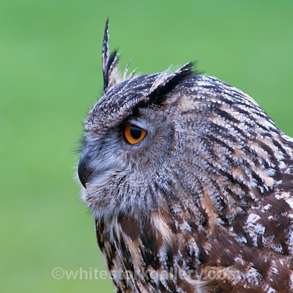 Eurasian Owl - Wildlife and Animals